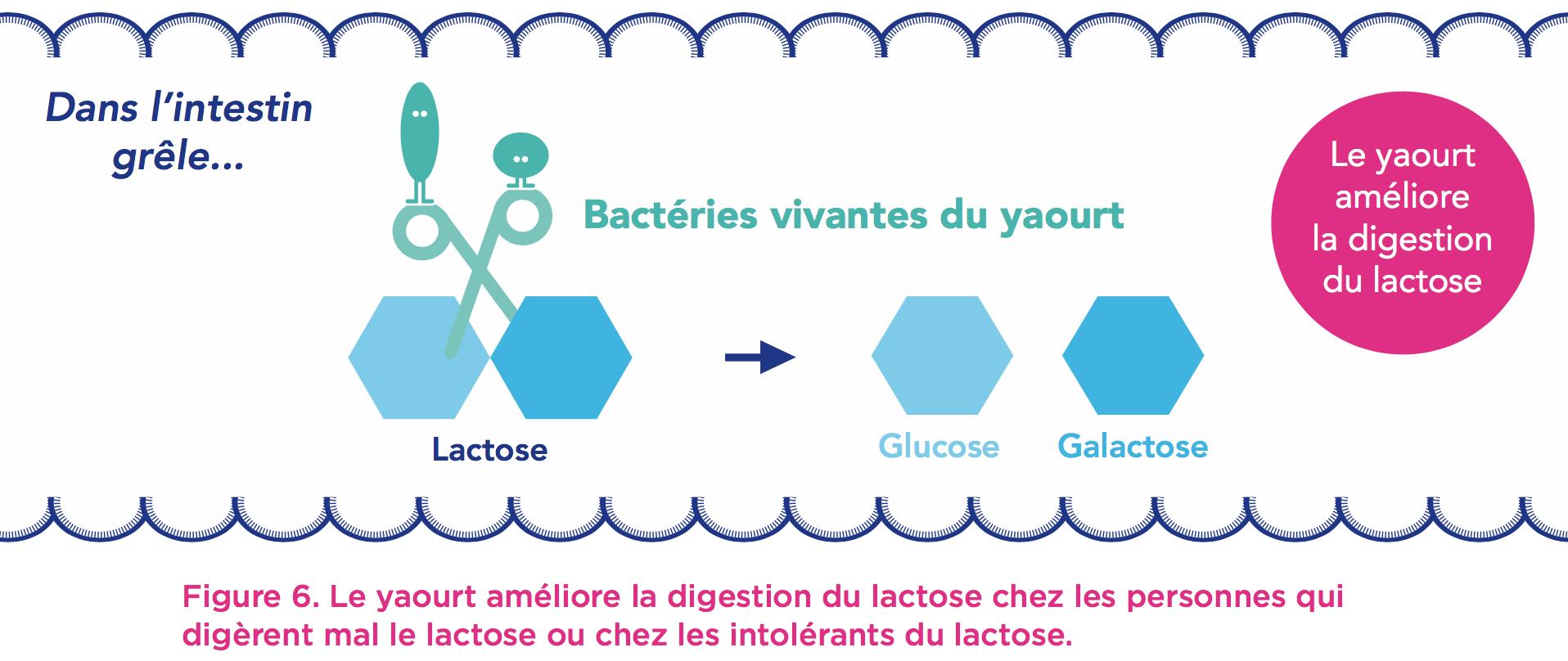intestin-yaourt-bacterie
