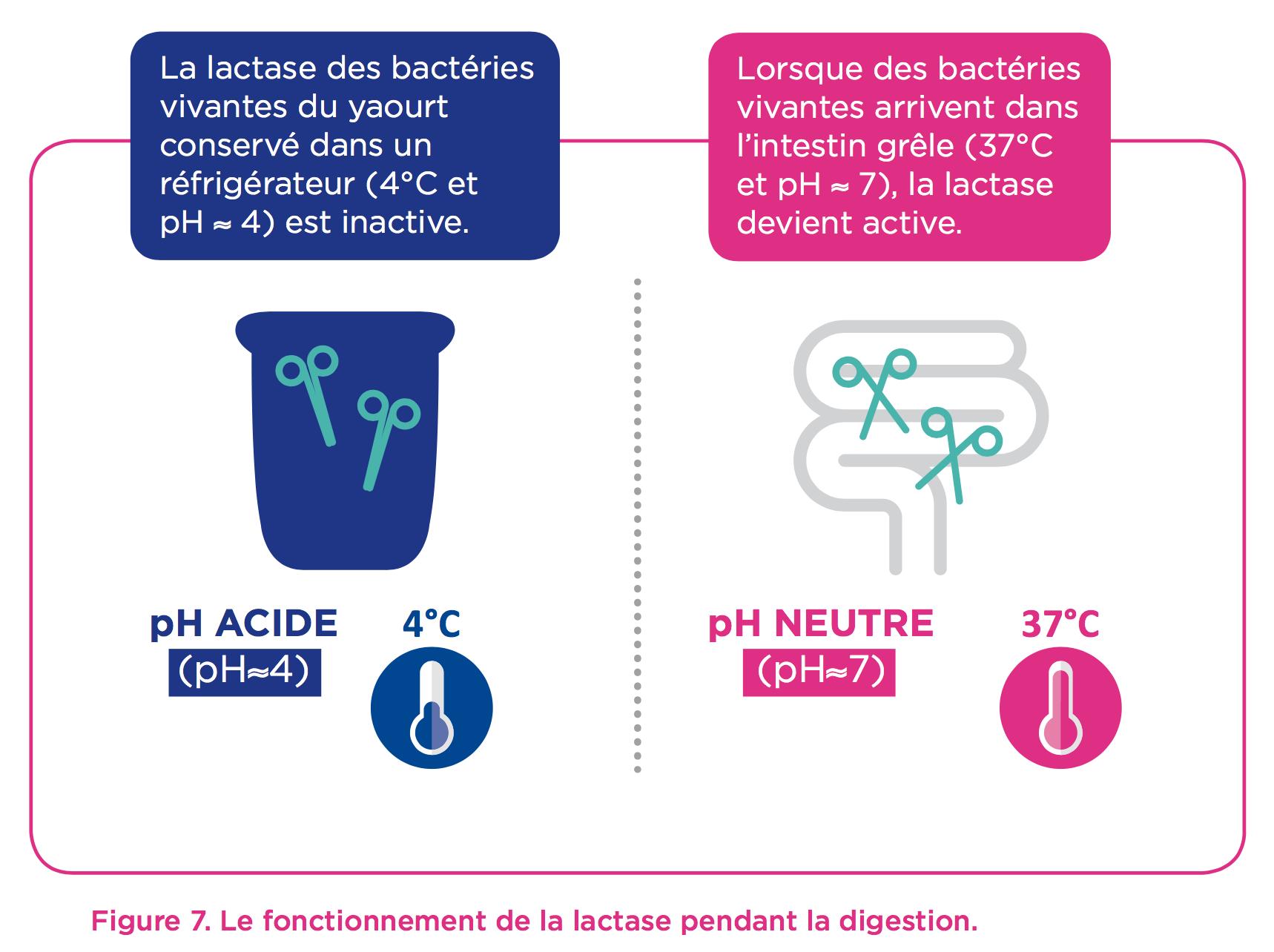 lactase-bacterie-intestin