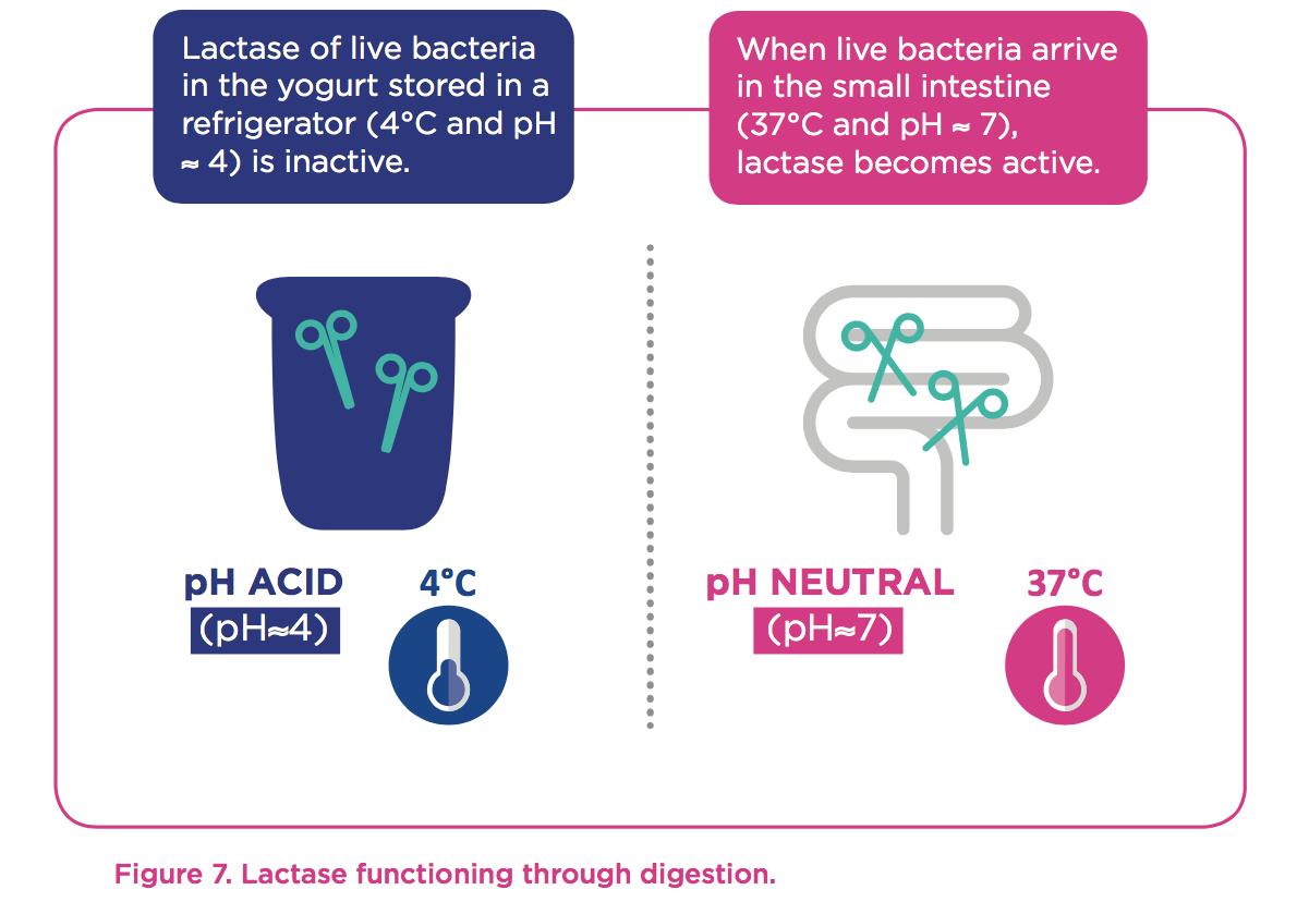 lactase-live-bacteria
