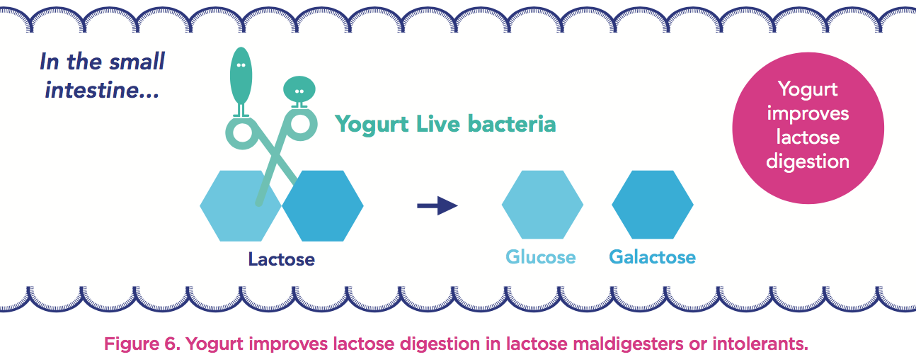 lactose-digestion