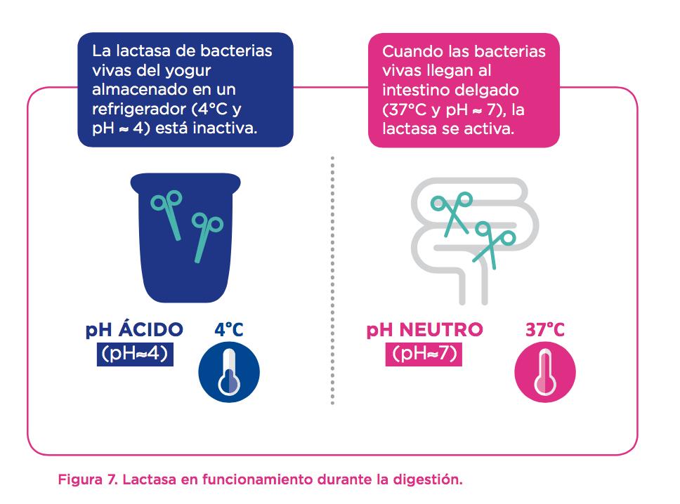 yogur-intestino-bacterias-viva-lactasa