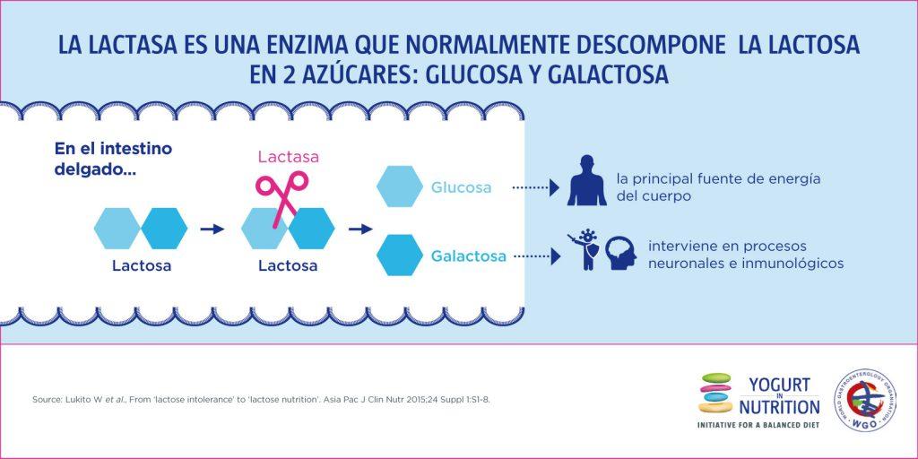 La lactasa es una enzima que descompone la lactose en 2 azucares